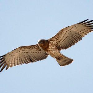 Águila culebrera (Circaetus gallicus)